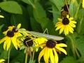 Praying mantis on coneflower