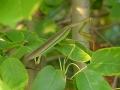 Praying mantis on serviceberry
